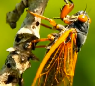 Return of the Cicadas Documentary is Gorgeous